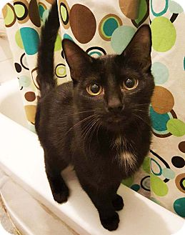 Domestic Shorthair Kitten for adoption in Lombard, Illinois - Frankie