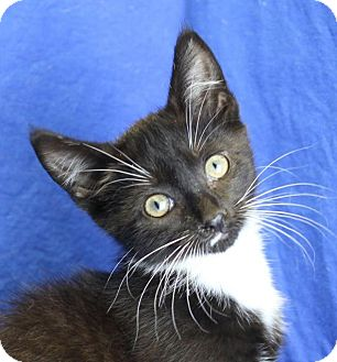 Domestic Shorthair Kitten for adoption in Winston-Salem, North Carolina - Perry