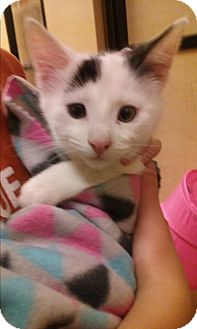 Domestic Shorthair Kitten for adoption in Glen Mills, Pennsylvania - Cotton