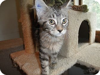 Domestic Longhair Kitten for adoption in Milwaukee, Wisconsin - Clefairy