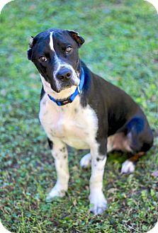 Great Dane/Pointer Mix Dog for adoption in San Antonio, Texas - Flynn