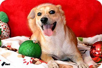 Dachshund/Chihuahua Mix Dog for adoption in Okeechobee, Florida - Mani