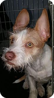 Chihuahua/Terrier (Unknown Type, Small) Mix Dog for adoption in Salamanca, New York - Graham