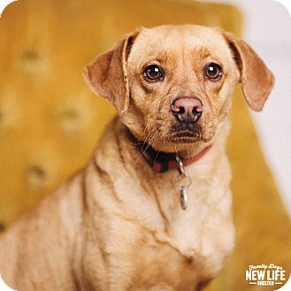 Beagle/Labrador Retriever Mix Dog for adoption in Portland, Oregon - Angel