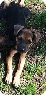 Shepherd (Unknown Type)/Terrier (Unknown Type, Medium) Mix Puppy for adoption in Hayes, Virginia - Archie Trooper