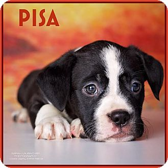 Labrador Retriever Mix Puppy for adoption in Cincinnati, Ohio - Pisa