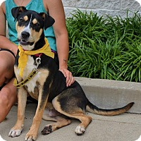 Adopt A Pet :: Badger - Rockville, MD