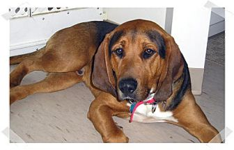 Bloodhound/Black and Tan Coonhound Mix Dog for adoption in Ontario, Ontario - Harley - ADOPTED!