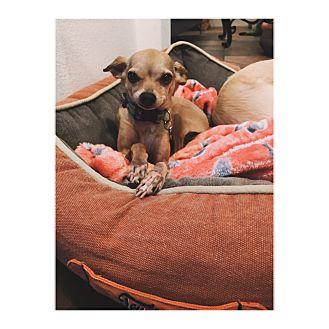Chihuahua Mix Dog for adoption in Orange, California - Priscilla