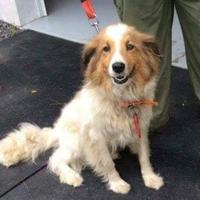 Adopt A Pet :: Sheltie - Fairfax Station, VA