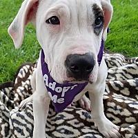 Adopt A Pet :: Hosta - Detroit, MI