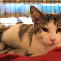 Adopt A Pet :: Little Tom Tucker - Rochester, MN