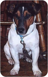 Jack Russell Terrier Mix Dog for adoption in Owatonna, Minnesota - Jacques