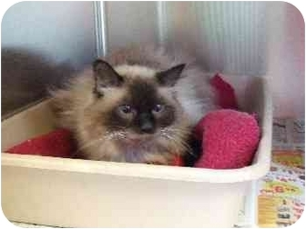 Himalayan Cat for adoption in Mason City, Iowa - Lilly