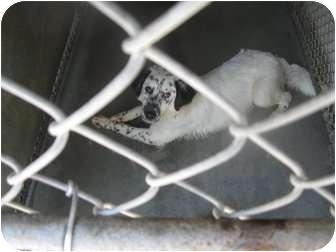 Dalmatian Mix Dog for adoption in Henderson, North Carolina - Reba