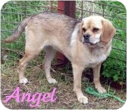 Pug/Beagle Mix Dog for adoption in Watertown, South Dakota - Angel