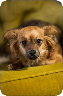 Papillon/Chihuahua Mix Dog for adoption in Portland, Oregon - Tina