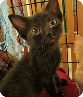 Domestic Shorthair Kitten for adoption in Long Beach, California - Morgan
