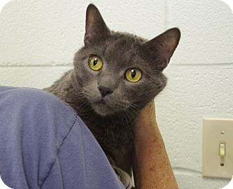 Domestic Shorthair Cat for adoption in Elyria, Ohio - Static