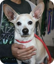 Chihuahua/Dachshund Mix Dog for adoption in Canoga Park, California - Peanut-Chiweenie!