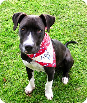 American Pit Bull Terrier Mix Dog for adoption in El Cajon, California - Buzz