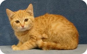 Domestic Shorthair Cat for adoption in Sacramento, California - Cuddles