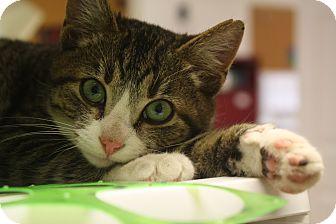 Domestic Shorthair Kitten for adoption in Marietta, Georgia - Nate