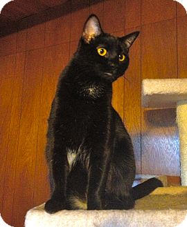 Domestic Shorthair Cat for adoption in San Diego, California - Pria