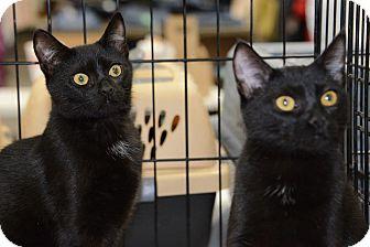 Domestic Shorthair Cat for adoption in Harrisburg, North Carolina - Bitts