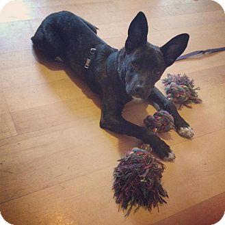 Staffordshire Bull Terrier/Dutch Shepherd Mix Puppy for adoption in Saskatoon, Saskatchewan - Nora