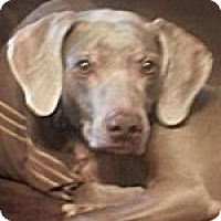 Adopt A Pet :: Zoey - St. Louis, MO