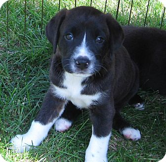 Labrador Retriever Mix Puppy for adoption in Schaumburg, Illinois - Ryker