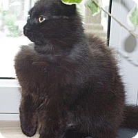 Domestic Longhair Cat for adoption in Montreal, Quebec - Malia