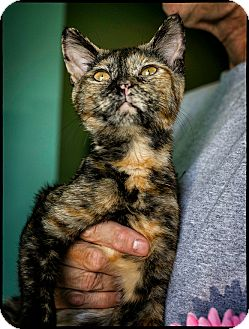 Domestic Shorthair Kitten for adoption in Freeport, New York - Baby Beej