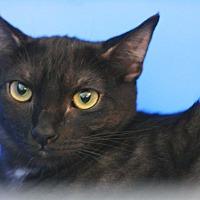 Domestic Shorthair Cat for adoption in Canoga Park, California - Chandler