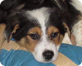 Australian Shepherd Mix Puppy for adoption in Dublin, California - Gab