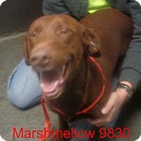Adopt A Pet :: MarshMellow - Greencastle, NC