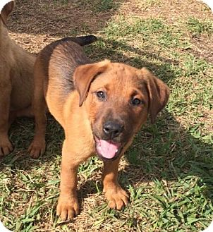 Labrador Retriever/Shepherd (Unknown Type) Mix Puppy for adoption in Palmetto Bay, Florida - Phoebe