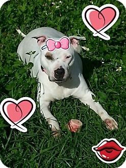 American Staffordshire Terrier Mix Dog for adoption in Coral Springs, Florida - Pixie