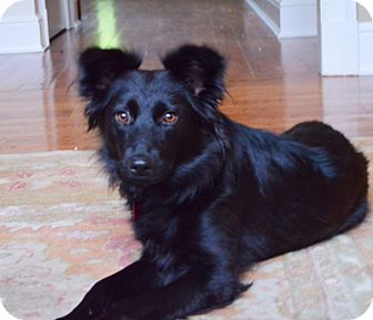 Border Collie/Australian Shepherd Mix Dog for adoption in Bedford Hills, New York - Bailey