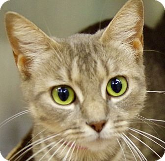 Domestic Shorthair Cat for adoption in Daytona Beach, Florida - Melly