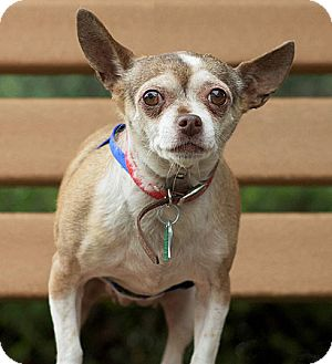 Chihuahua Mix Dog for adoption in Port Washington, New York - Lacey