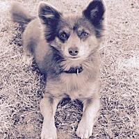 Adopt A Pet :: Foxy - Surrey, BC