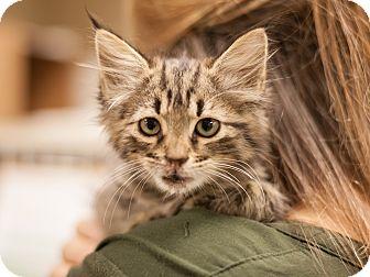 Domestic Longhair Kitten for adoption in Dallas, Texas - Farenheit