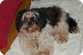 Shih Tzu Dog for adoption in Chattanooga, Tennessee - Myra - ADOPTION PENDING!