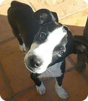 Rat Terrier/Terrier (Unknown Type, Small) Mix Puppy for adoption in Homestead, Florida - Lily