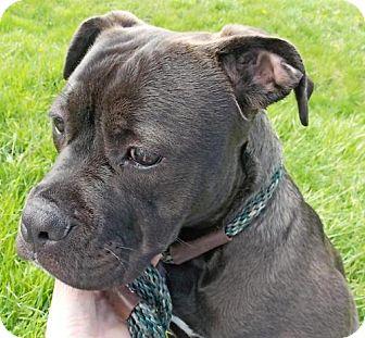 Bull Terrier Mix Dog for adoption in Batavia, Ohio - Echo