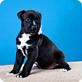 Retriever (Unknown Type)/Beagle Mix Puppy for adoption in Houston, Texas - Prancer