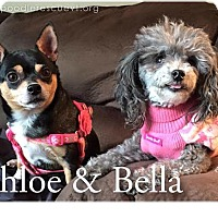 Adopt A Pet :: Bella - Essex Junction, VT