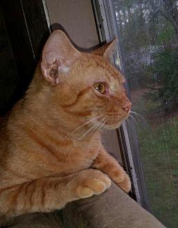 Manx Cat for adoption in Middleburg, Florida - ♥ Tommen ♥